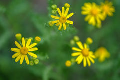 Κίτρινα wildflowers σε ένα πράσινο υπόβαθρο Στοκ Φωτογραφίες