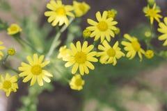 Κίτρινα wildflowers Στοκ εικόνες με δικαίωμα ελεύθερης χρήσης