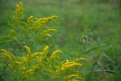Κίτρινα wildflowers Στοκ φωτογραφία με δικαίωμα ελεύθερης χρήσης
