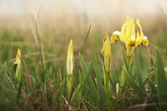 Κίτρινες ίριδες άνοιξη που ανθίζουν στη στέπα Στοκ Εικόνες