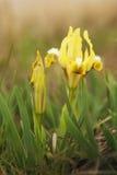 Κίτρινες ίριδες άνοιξη που ανθίζουν στη στέπα Στοκ εικόνες με δικαίωμα ελεύθερης χρήσης