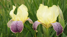 Κίτρινες ίριδες λουλουδιών Στοκ Εικόνα