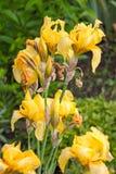 Κίτρινες ίριδες Στοκ εικόνες με δικαίωμα ελεύθερης χρήσης