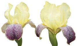 2 κίτρινες ίριδες Στοκ φωτογραφία με δικαίωμα ελεύθερης χρήσης