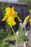 Κίτρινες ίριδες (lat Λουλούδια à  ris), αιώνιος, λουλούδι άνοιξη Στοκ φωτογραφία με δικαίωμα ελεύθερης χρήσης