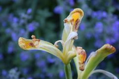 Κίτρινες ανθίσεις λουλουδιών Canna που πεθαίνουν πίσω Στοκ Εικόνες