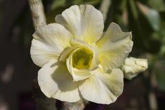 Κίτρινες ανθίσεις obesum adenium λουλουδιών Στοκ Φωτογραφία