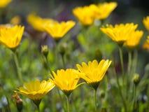 Κίτρινες αφρικανικές μαργαρίτες Osteospermum Στοκ φωτογραφία με δικαίωμα ελεύθερης χρήσης
