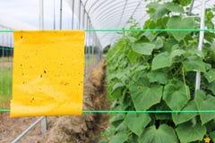 Κίτρινες εγκαταστάσεις αγγουριών παγίδων κόλλας εντόμων στη γεωργία θερμοκηπίων Στοκ Εικόνες