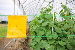 Κίτρινες εγκαταστάσεις αγγουριών παγίδων κόλλας εντόμων στη γεωργία θερμοκηπίων Στοκ Εικόνα