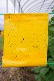 Κίτρινες εγκαταστάσεις αγγουριών παγίδων κόλλας εντόμων στη γεωργία θερμοκηπίων Στοκ φωτογραφίες με δικαίωμα ελεύθερης χρήσης