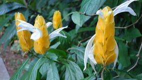 Κίτρινες εγκαταστάσεις γαρίδων - lutea Pachystachys στοκ φωτογραφία με δικαίωμα ελεύθερης χρήσης