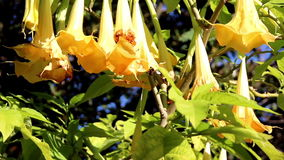 Κίτρινες εγκαταστάσεις λουλουδιών σαλπίγγων αγγέλων με τα κίτρινα λουλούδια κουδουνιών απόθεμα βίντεο