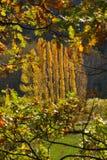 Κίτρινες λεύκες φθινοπώρου που πλαισιώνονται μεταξύ των δρύινων κλάδων Στοκ Εικόνες
