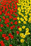 Κίτρινες και κόκκινες τουλίπες Στοκ Φωτογραφία
