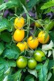 Κίτρινες και πράσινες ντομάτες στην τοματιά Στοκ εικόνα με δικαίωμα ελεύθερης χρήσης