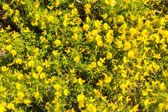 Κίτρινες λουλούδια και βλάστηση σε Arrifana Στοκ Εικόνες