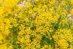 Κίτρινες λουλούδια και βλάστηση σε Arrifana Στοκ εικόνες με δικαίωμα ελεύθερης χρήσης