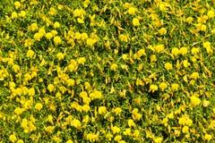 Κίτρινες λουλούδια και βλάστηση σε Arrifana Στοκ Εικόνα