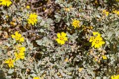 Κίτρινες λουλούδια και βλάστηση σε Arrifana Στοκ Φωτογραφία