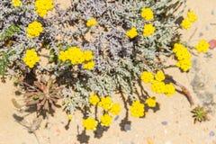 Κίτρινες λουλούδια και βλάστηση σε Arrifana Στοκ φωτογραφία με δικαίωμα ελεύθερης χρήσης
