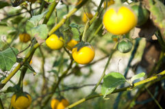 Κίτρινες μελιτζάνες στον κήπο Στοκ εικόνες με δικαίωμα ελεύθερης χρήσης