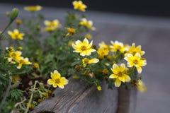 Κίτρινες νεραγκούλες, λουλούδια Anemones μέσα στο ξύλινο βάζο Στοκ εικόνα με δικαίωμα ελεύθερης χρήσης