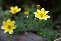 Κίτρινες νεραγκούλες, λουλούδια Anemones μέσα στο ξύλινο βάζο Στοκ φωτογραφίες με δικαίωμα ελεύθερης χρήσης