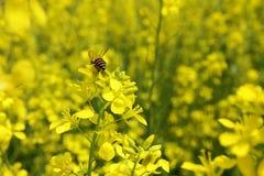 Κίτρινες λουλούδι και μέλισσα Στοκ Εικόνα