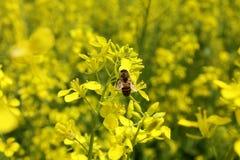 Κίτρινες λουλούδι και μέλισσα Στοκ εικόνες με δικαίωμα ελεύθερης χρήσης