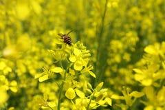 Κίτρινες λουλούδι και μέλισσα Στοκ Φωτογραφία