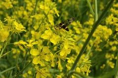 Κίτρινες λουλούδι και μέλισσα Στοκ φωτογραφία με δικαίωμα ελεύθερης χρήσης