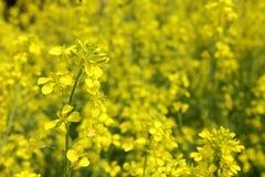 Κίτρινες λουλούδι και μέλισσα Στοκ εικόνα με δικαίωμα ελεύθερης χρήσης