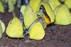 Κίτρινες πεταλούδες Στοκ φωτογραφία με δικαίωμα ελεύθερης χρήσης