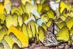 Κίτρινες πεταλούδες Στοκ φωτογραφίες με δικαίωμα ελεύθερης χρήσης