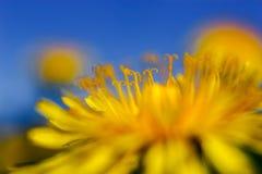 Κίτρινες πικραλίδες στο μπλε ουρανό στοκ εικόνες