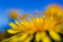 Κίτρινες πικραλίδες στο μπλε ουρανό στοκ φωτογραφία