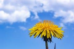 Κίτρινες πικραλίδες στο μπλε ουρανό στοκ εικόνα με δικαίωμα ελεύθερης χρήσης