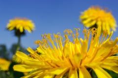Κίτρινες πικραλίδες στο μπλε ουρανό στοκ φωτογραφία με δικαίωμα ελεύθερης χρήσης