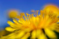Κίτρινες πικραλίδες στο μπλε ουρανό στοκ φωτογραφίες με δικαίωμα ελεύθερης χρήσης