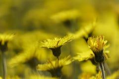 Κίτρινες πικραλίδες Στοκ Εικόνες