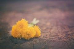 Κίτρινες πικραλίδες στην ξύλινη επιφάνεια Στοκ Φωτογραφίες