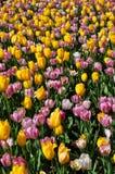 Κίτρινες ρόδινες τουλίπες στην πλήρη άνθιση Στοκ εικόνα με δικαίωμα ελεύθερης χρήσης