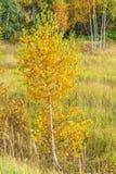 Κίτρινες σημύδες στο δάσος φθινοπώρου Στοκ Εικόνες