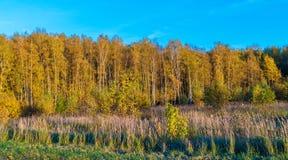 Κίτρινες σημύδες στο δάσος φθινοπώρου Στοκ Εικόνα