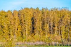 Κίτρινες σημύδες στο δάσος φθινοπώρου Στοκ εικόνα με δικαίωμα ελεύθερης χρήσης