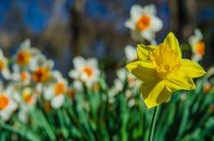Κίτρινες στάσεις Daffodil έξω ενάντια στο πλήθος Στοκ εικόνα με δικαίωμα ελεύθερης χρήσης