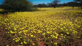 Κίτρινες συνεχείς μαργαρίτες wildflowers δυτικών Αυστραλιών εγγενείς Στοκ Εικόνες