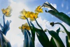 Κίτρινες τουλίπες ενάντια στον ουρανό και τον ήλιο στοκ εικόνα