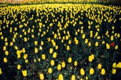 Κίτρινες τουλίπες με ένα θολωμένα υπόβαθρο και ένα διάστημα για το κείμενο στοκ εικόνες